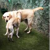 Hotel curta estadia para cães em Itapevi