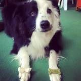 Onde tem adestramento para cão em Cotia