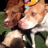 Valor de Daycare canino no Rio Pequeno
