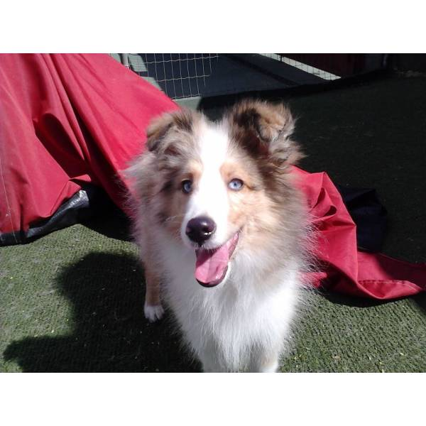 Valor de Adestrador para Cachorro na Vila Sônia - Adestrador de Cãesna Zona Oeste